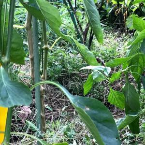 自家採種から栽培ピーマンパレルモが順調 黄色になったよ