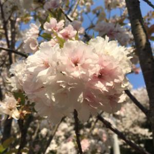 新種!三ヶ日桜