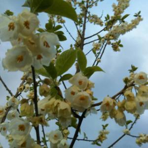 ハレーシアの花