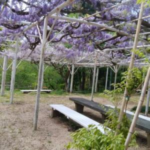 藤の花!桜淵公園