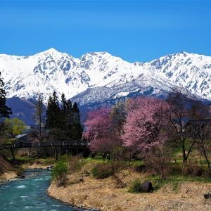4月下旬でも桜が見られる白馬村・大出公園。北アルプスと桜を同時に楽しめる絶景スポット