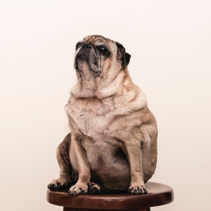 犬の肥満 食事制限は効果アリ? ダイエットの方法と目標の立て方