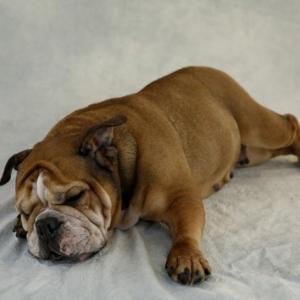 犬のダイエットにささみは効果的?<与え方と注意点・おすすめレシピ>