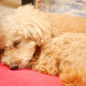 トイプードルの睡眠時間はどれくらい?飼い主が気を付けるべきこと