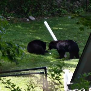 * バックヤードにクマ出現!ついに来たかー・・・