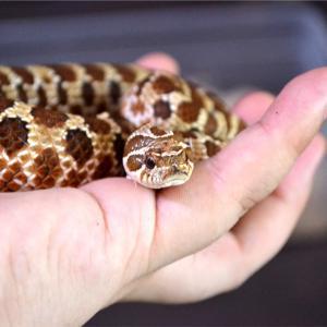 脱皮後のセイブシシバナヘビ