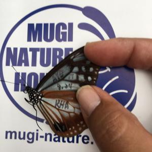 マーク有りのアサギマダラ捕蝶
