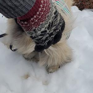 ペキニ-ズ琥治の初の雪体験