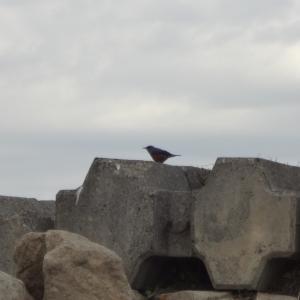 イソヒヨドリと海辺の野鳥たち