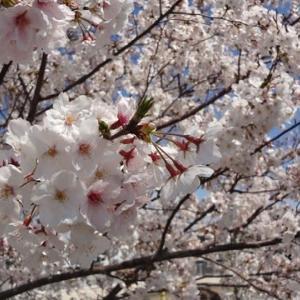 満開の桜&桃源郷