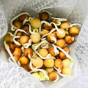 種蒔き豆苗 day3