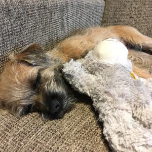 犬の避妊手術について〜2週間後、傷口が腫れてる!?
