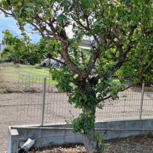 【家庭菜園】この木なんの木?
