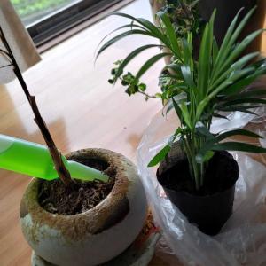 【観葉植物】テーブルヤシ