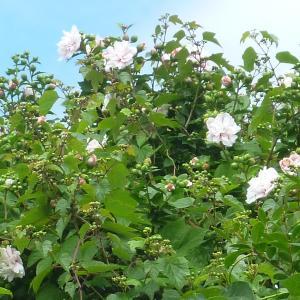 通院の帰り道の後日談と謎深きうちの庭の花たち