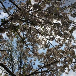 犬と一緒に桜を見る会した