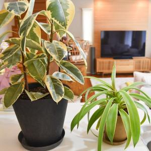 観葉植物の植え替え ゴムの木と・・・