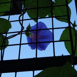 お~い〇△さん、ヤット念願の゛朝顔゛今朝、開花しました。