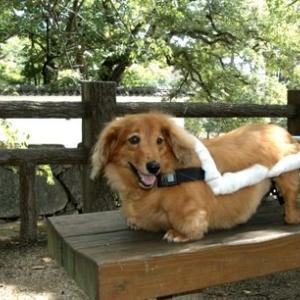 障害犬バロンの車椅子装着走行写真集動画