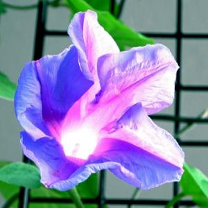 4kカメラ 朝顔の花 蕾から開花まで 連続写真