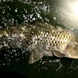 川スズキ釣り 鯉