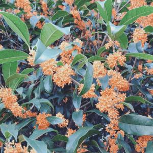 秋を知らせる金木犀の香り。その効能と家でも香りを楽しむ方法を紹介!