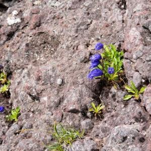 岩肌にしがみ付いて咲く高山植物 by 宗村港