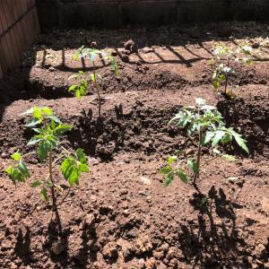 【家庭菜園】苗を植える