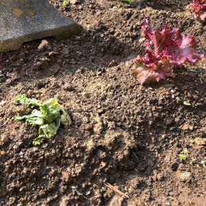 【家庭菜園】〈悲報〉レタスが一つだめになった