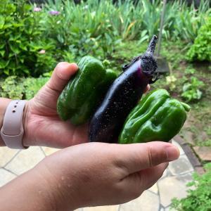【家庭菜園】収穫!ナスとピーマン!