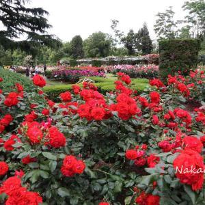 植物園 バラとシャクヤク 2020.5.22