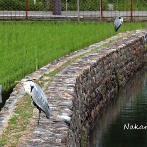 広沢池まわりの花や鳥  2021.6.6