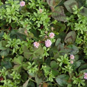 ソバ属の何か、咲きました。