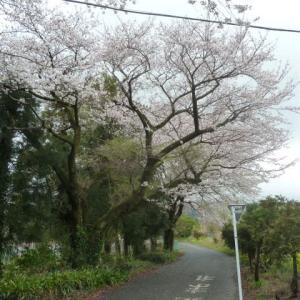 幻の「兼六園菊桜」は・・まだ咲き始めの様でした?