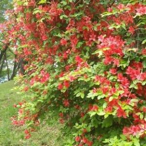 '20 足柄峠の「サンショウバラ」咲いていましたよ・・もう5日も前ですが!