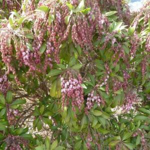 「幸せ道&春木径」の春めき(旧・足柄桜)が咲き始めています・・見頃は今週末から?