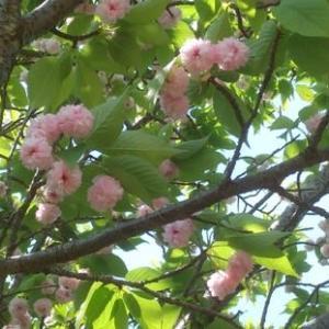 '21春 散歩途中の花々・・兼六園菊桜がド満開でした!