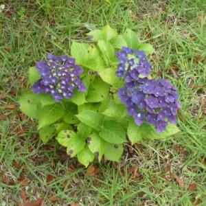 我が家の庭に咲くアジサイの花!