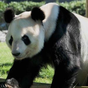 アドベンチャーワールドのパンダたち第3弾 ブリーディングセンターに行ってみた
