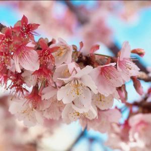 日本一早く咲く熱海桜は可憐なピンク色だった