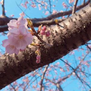 春を告げる可憐な河津桜