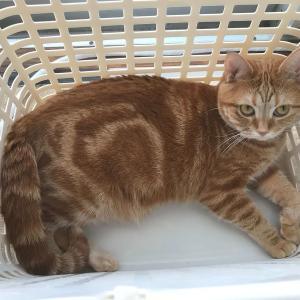 我が家の猫のモーニングルーティンは洗濯カゴに入ることです