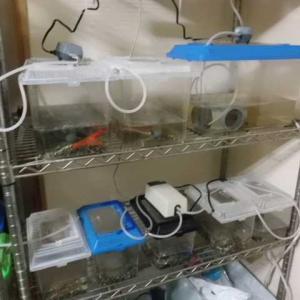 ザリガニ水槽プラント整備しました