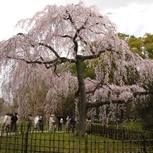 京都御苑の枝垂れ桜が満開です