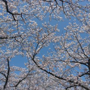 生きていてこそ見られる桜。