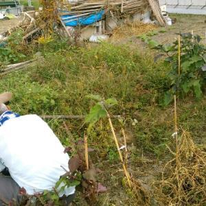 父の畑に同行、芋ほり体験。