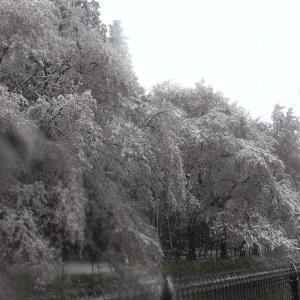 花より団子!鼻水より雪と桜!鼻水だらだらさんぽ