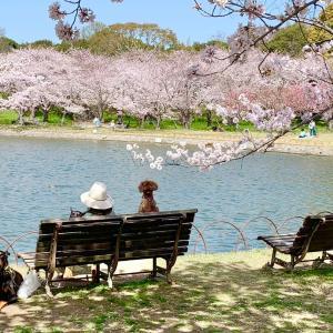 桜満開明石公園