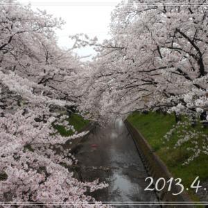 【お花見】五条川へ初めて行った 2013.4.2*