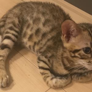 世界最小の野生猫クロアシネコとベンガル猫